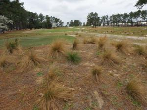 Wire grass is on display throughout the Pinehurst No. 2 course as part of the renovations for the US Open.
